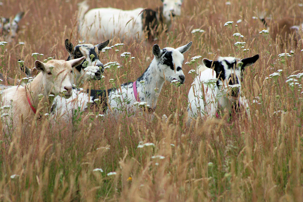 goats-in-tall-pasture-2014