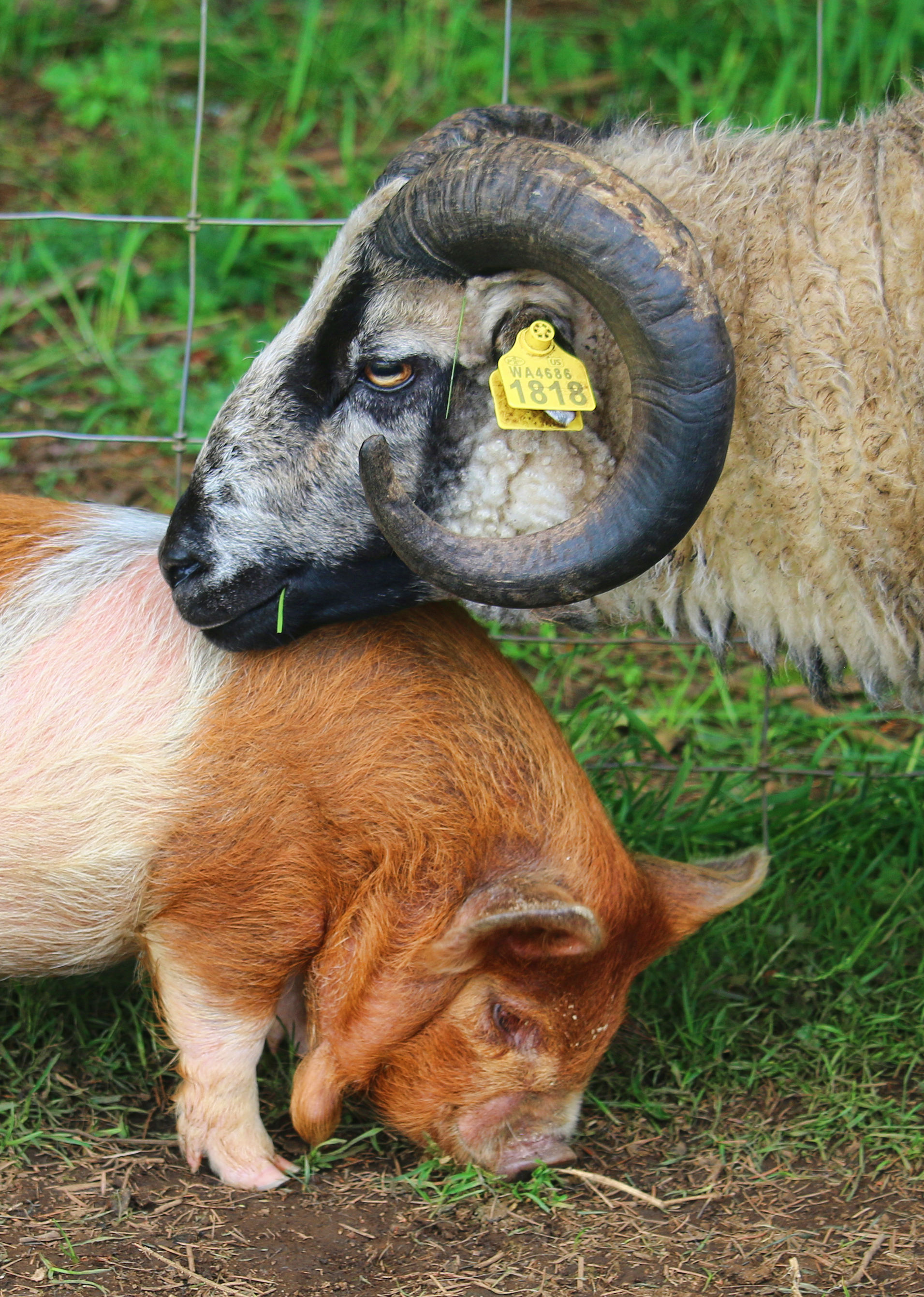 ram and piglet