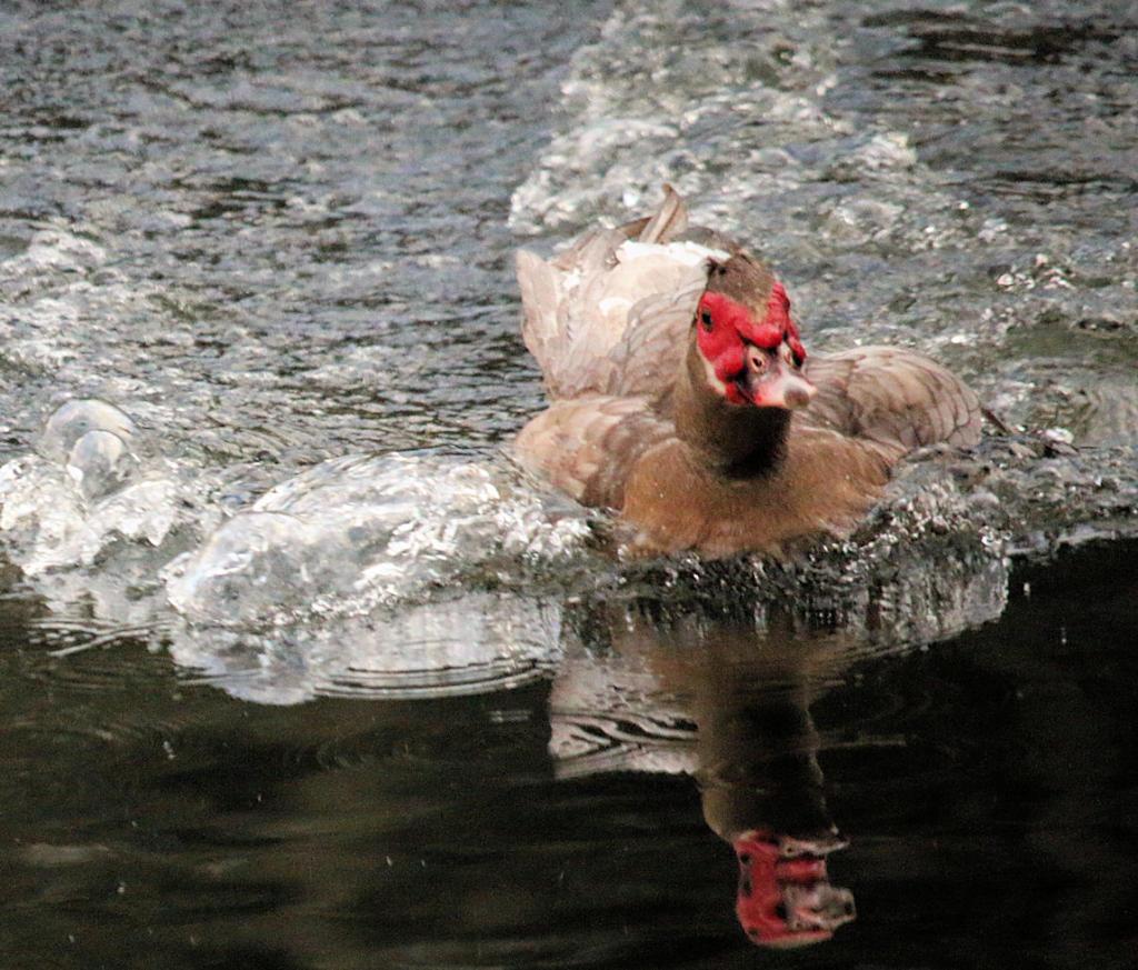 Chadwick swims fast
