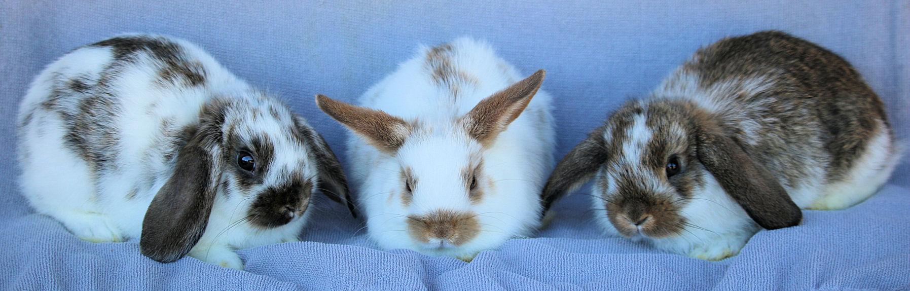 hl-buck-bunnies
