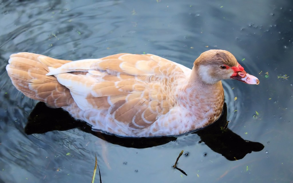 Muscovy_Louise_swimming