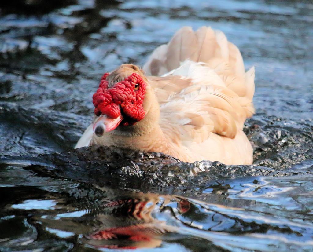 Rhett swims