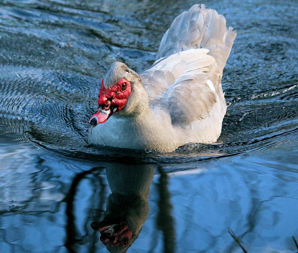 Stetson swims