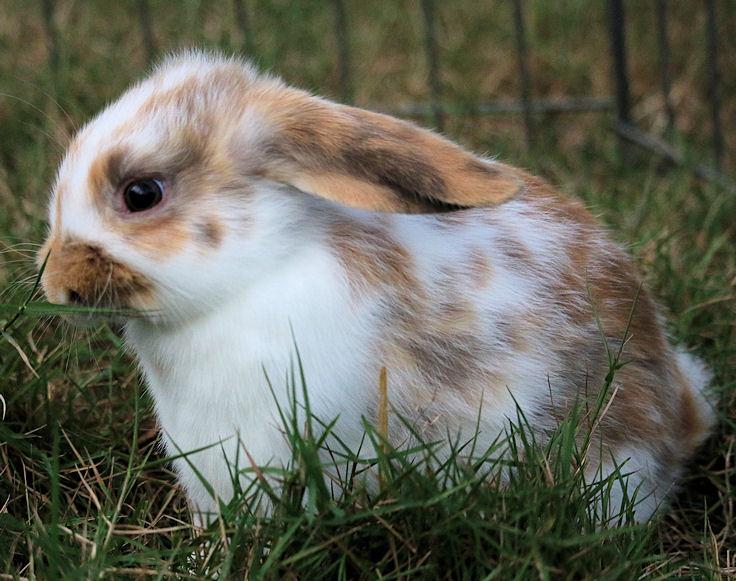 bunny-broken-harlequin-doe