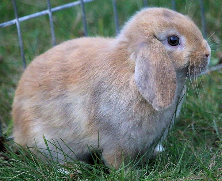 bunny-harliequin-doe