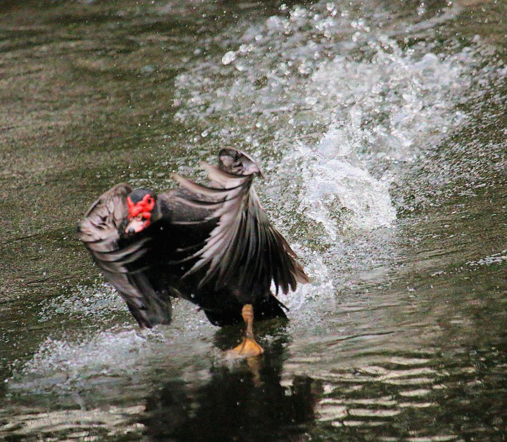 duck speed walker