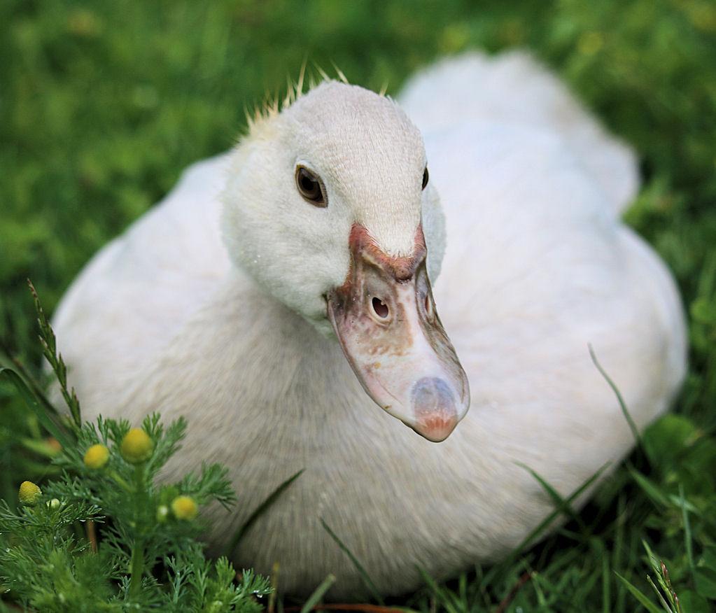 duckling cream drake 2