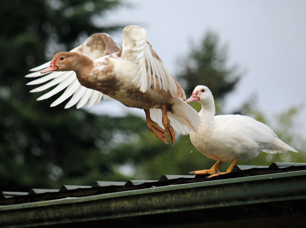 duckling flying off barn