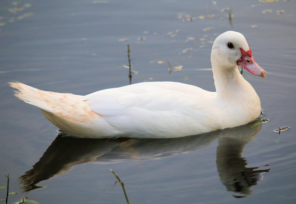 duckling swan