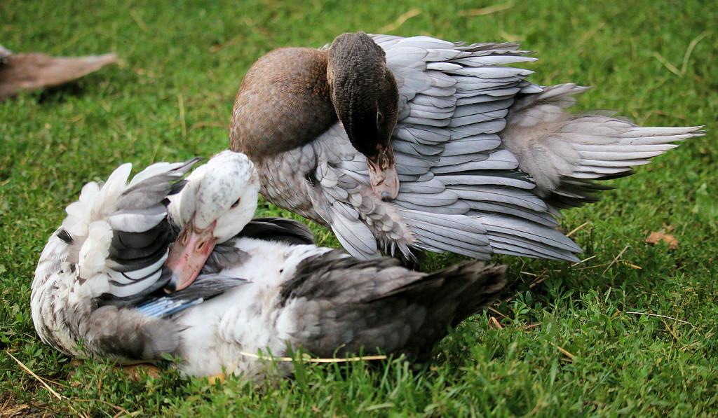 ducklings grooming