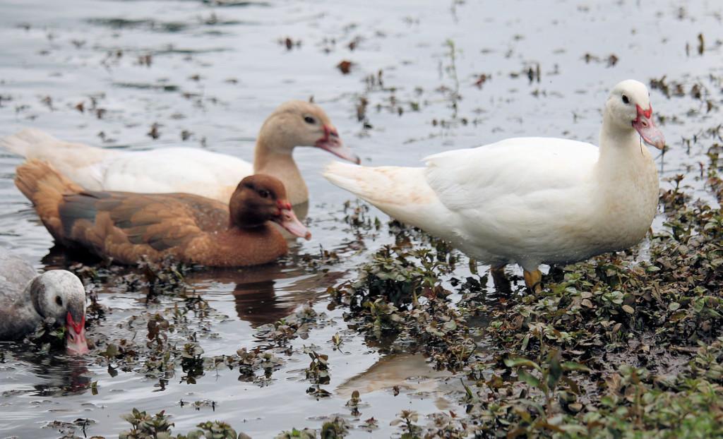 ducklings in muddy pond
