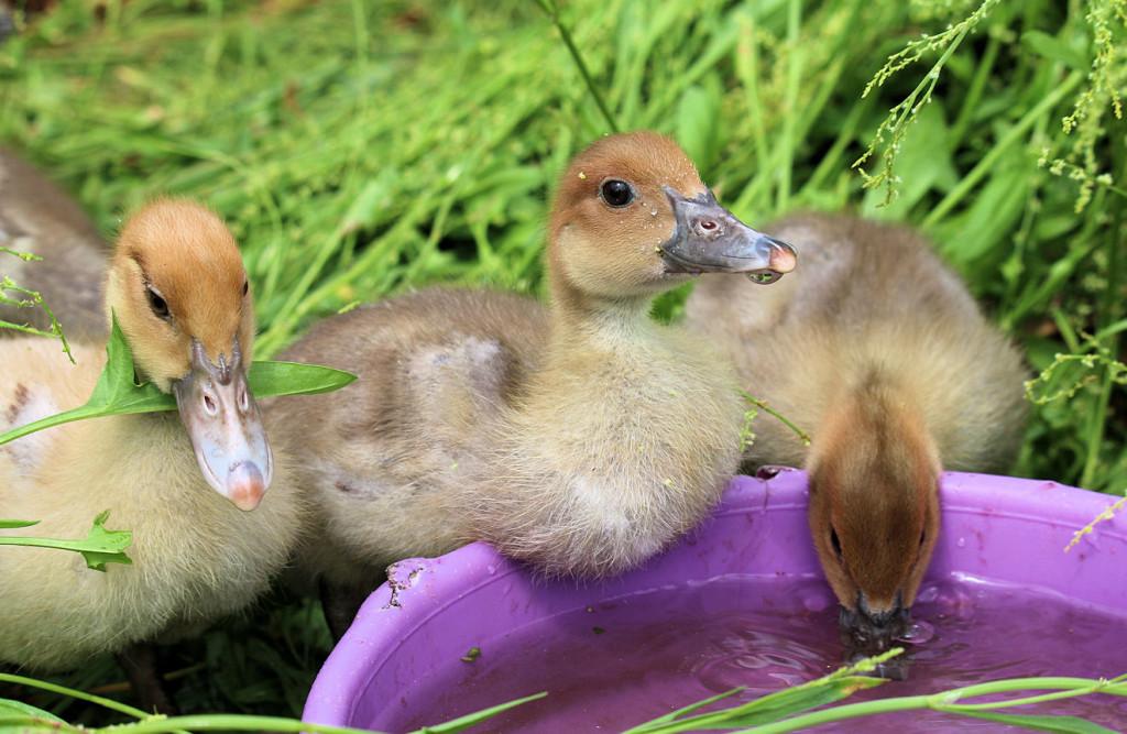 ducklings ripples