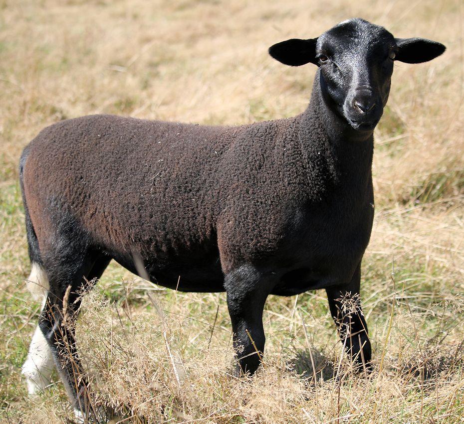 2016-ewe-lamb