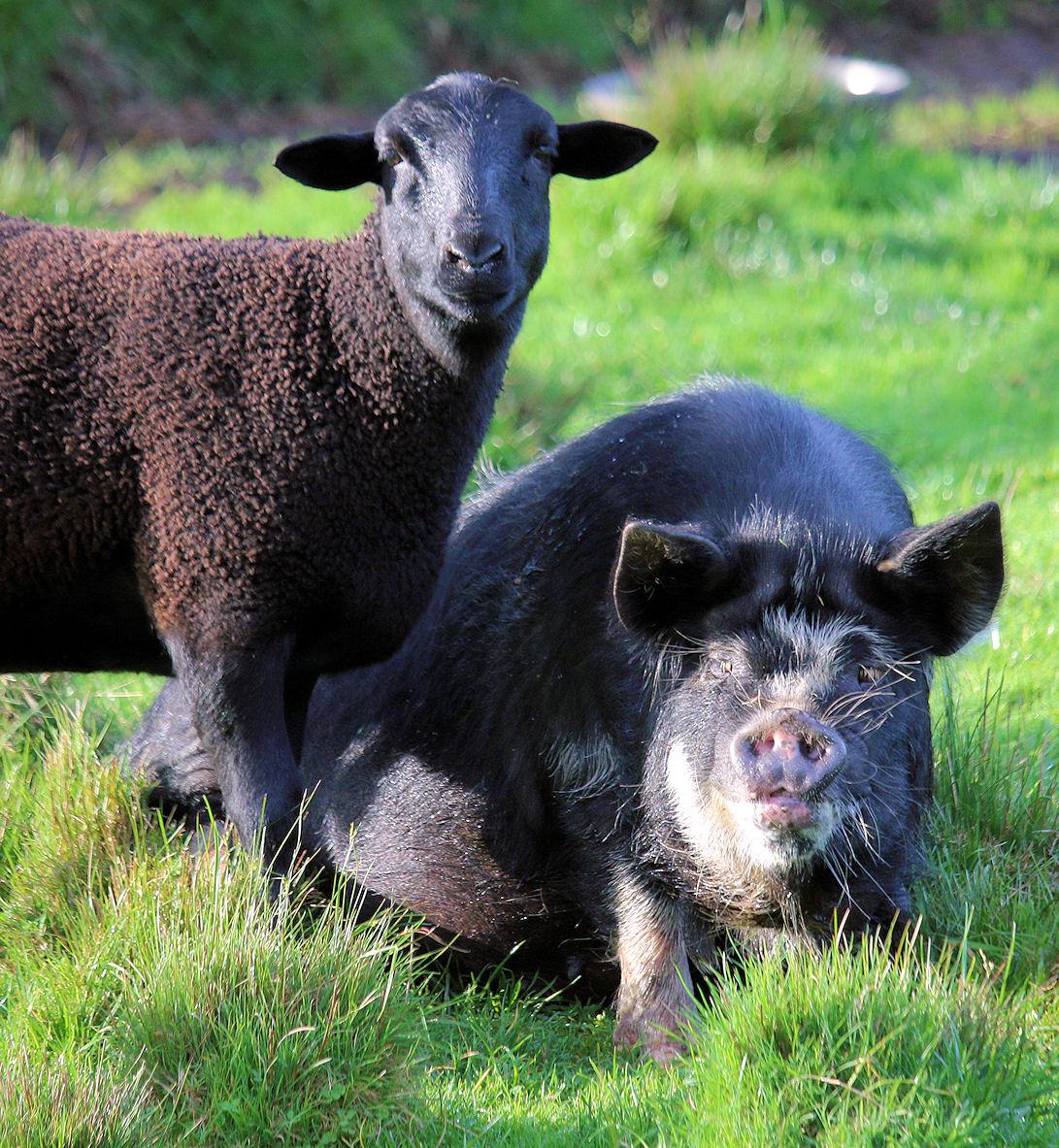 lamb-and-pig