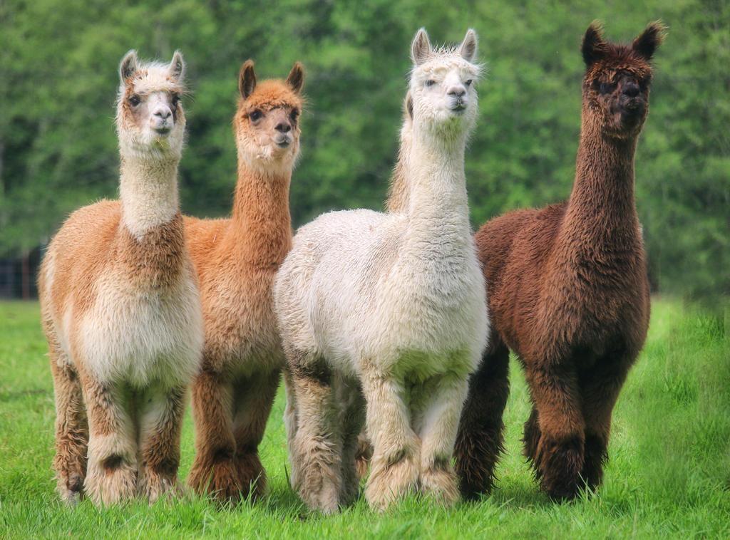 alpacas in a row - Copy
