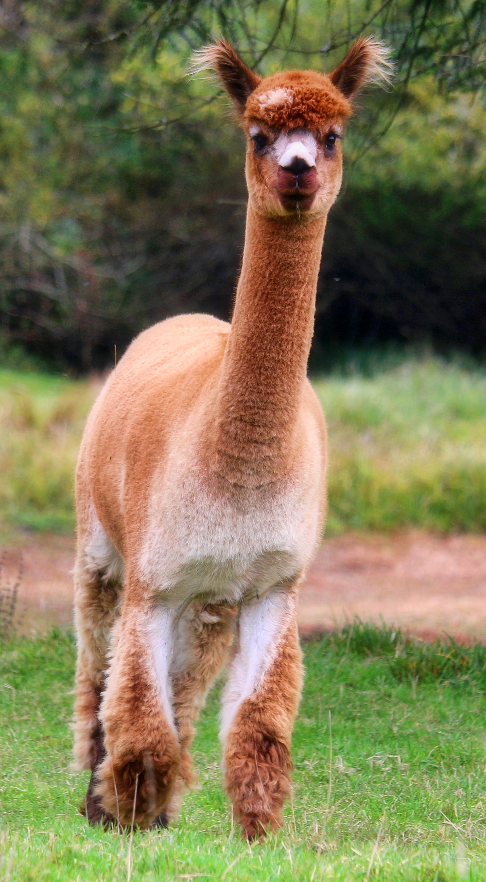 alpaca - Tiffany standing