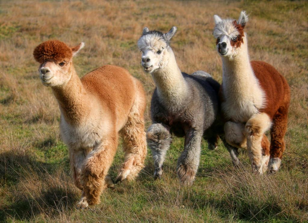alpacas - running